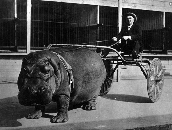 Circus-hippo-pulling-a-cart-1924